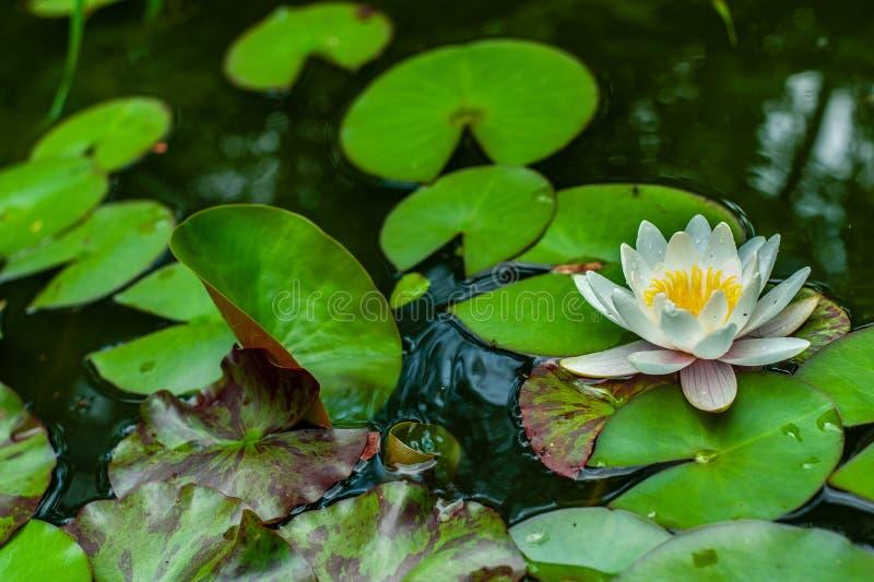 1朵白色星莲属花在有它的围拢与占位符的叶子的池塘 免版税库存照片