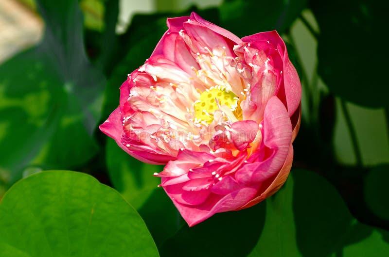 1朵莲花 库存图片
