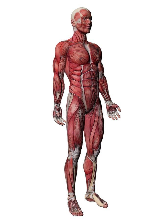 机体人力肌肉X-射线 向量例证
