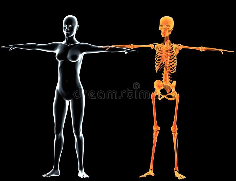机体发出光线骨骼妇女x 皇族释放例证
