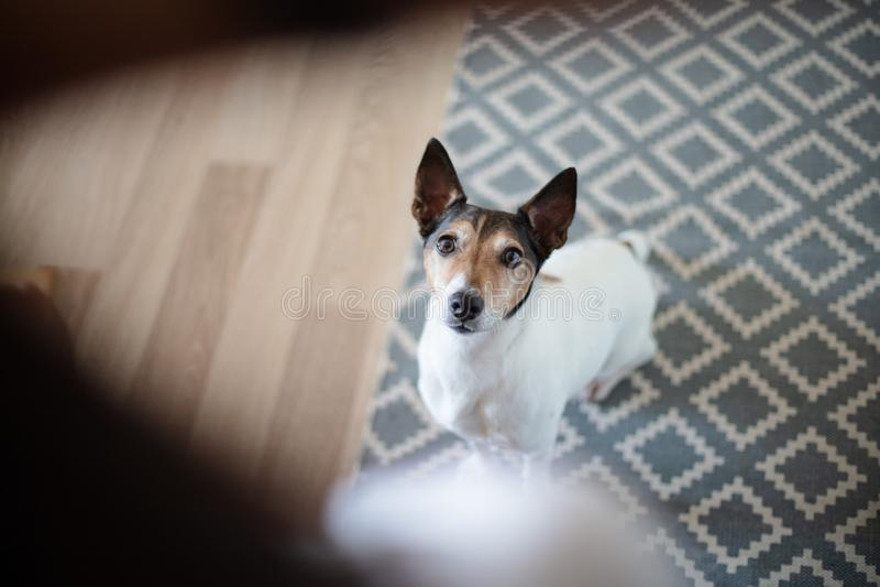 机敏凝视它的所有者的可爱的小犬座 免版税库存图片