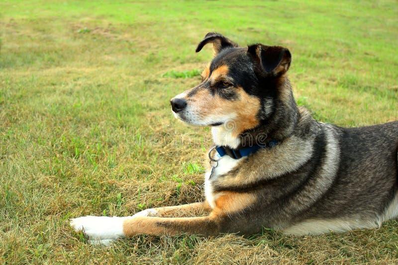 机敏的德国牧羊犬混合狗 免版税库存图片
