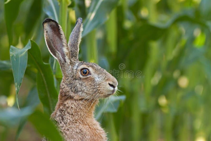 机敏的欧洲棕色野兔,天兔座europaeus 免版税库存图片