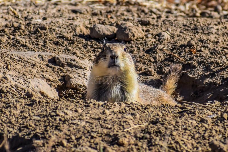 机敏的草原土拨鼠在他的洞穴 免版税库存照片