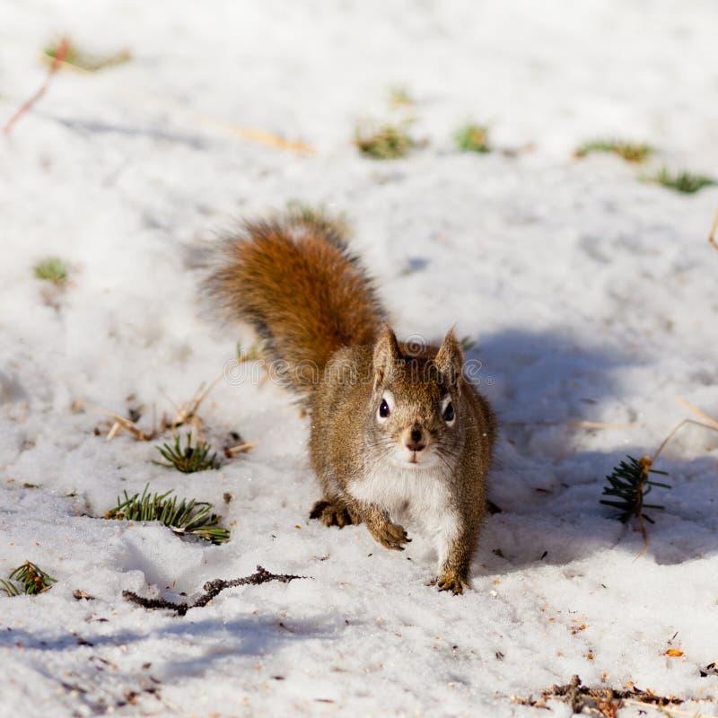 在冬天雪的机敏的逗人喜爱的美国红松鼠 免版税库存图片