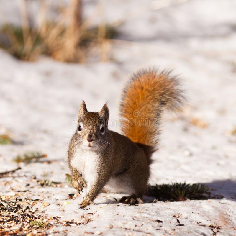 在冬天雪的机敏的逗人喜爱的美国红松鼠 库存图片