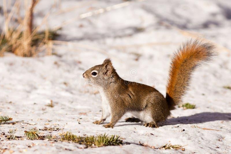 在冬天雪的机敏的逗人喜爱的美国红松鼠 免版税库存照片