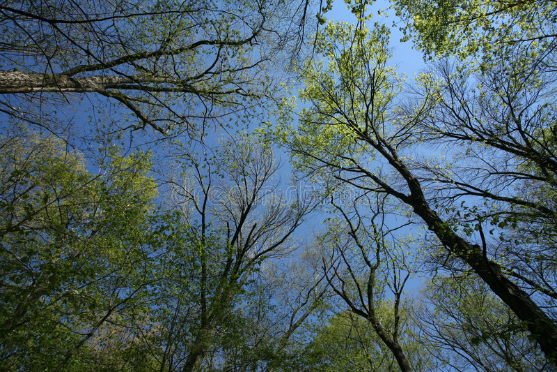 机盖早期的森林春天 免版税库存图片