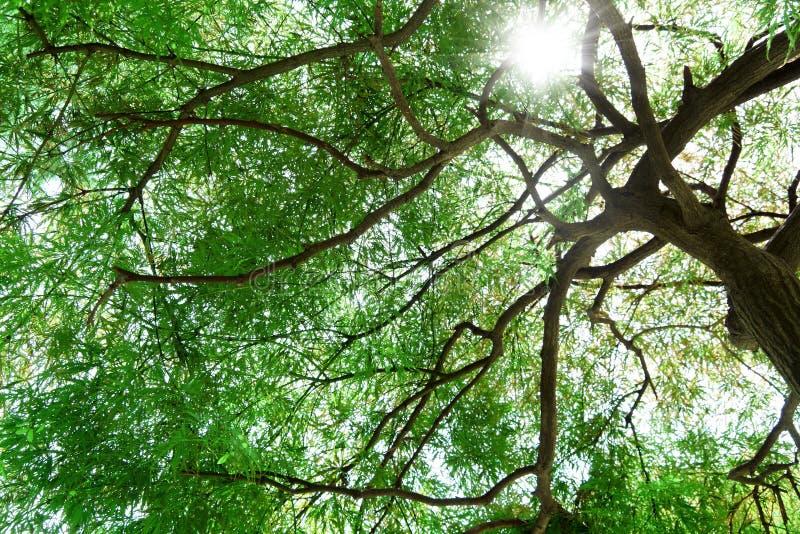 机盖槭树 图库摄影