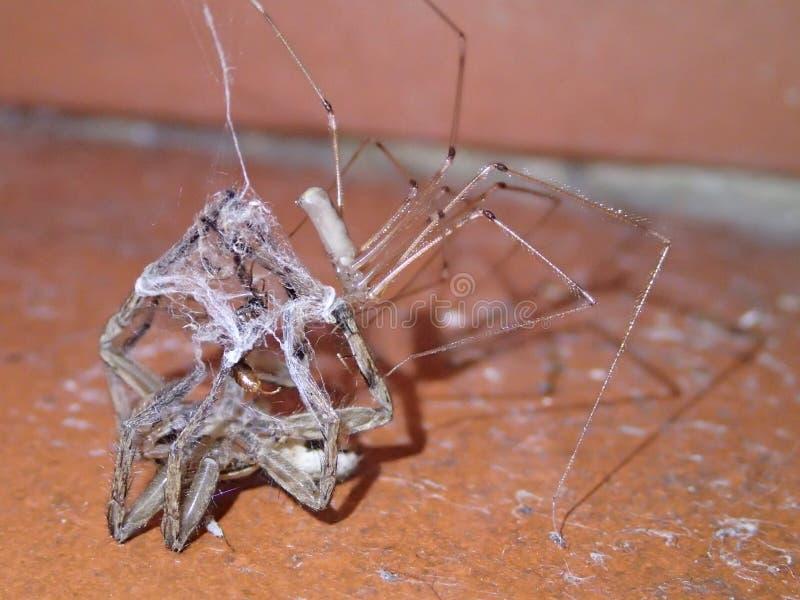 杀害和吃另一只蜘蛛的蜘蛛 免版税库存照片