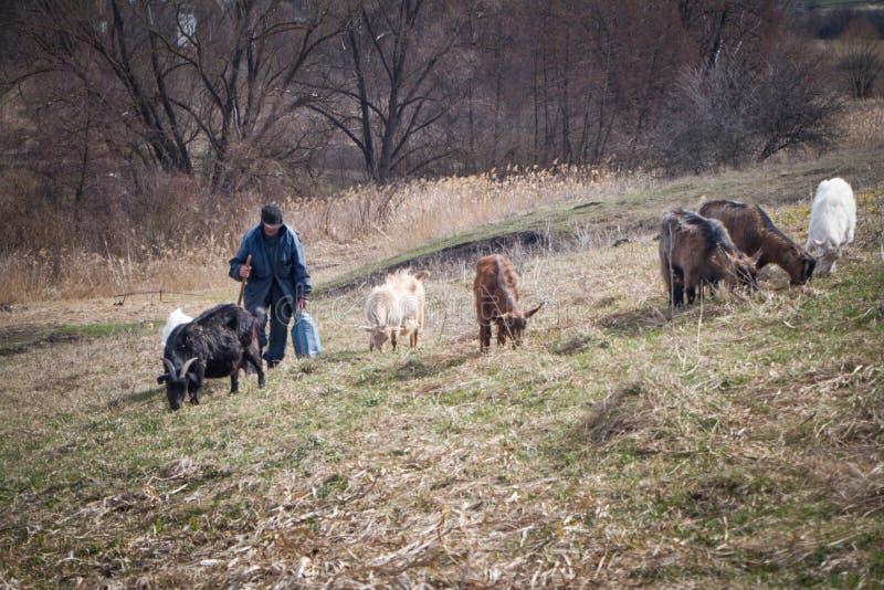 杂乱衣裳的一个老人自牧场地发生到他的有他自己的山羊群的家在背景凋枯的背景下 免版税图库摄影