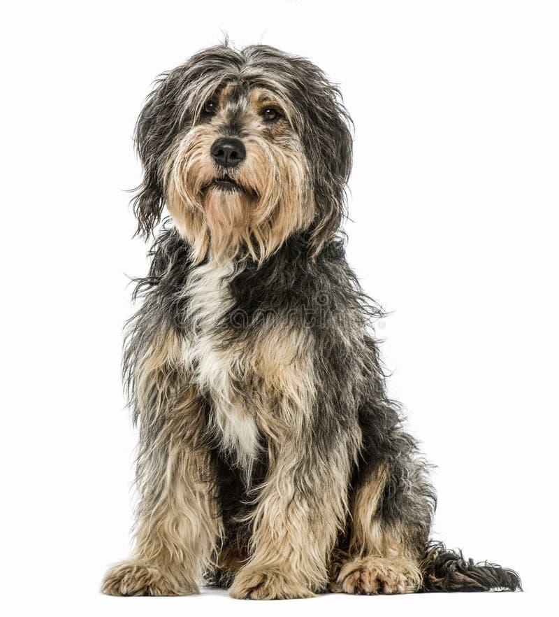 杂交繁育坐和看照相机的狗 免版税库存照片