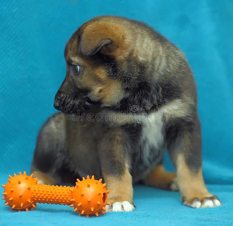杂交繁育小狗在蓝色背景的牧羊犬 免版税库存照片