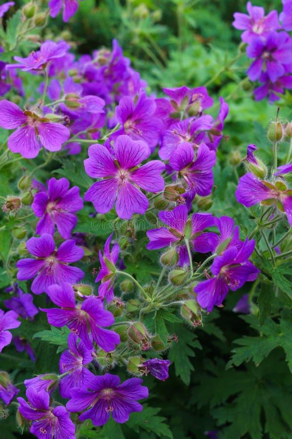 杂种大竺葵的美丽的紫色花在庭院里 免版税库存图片