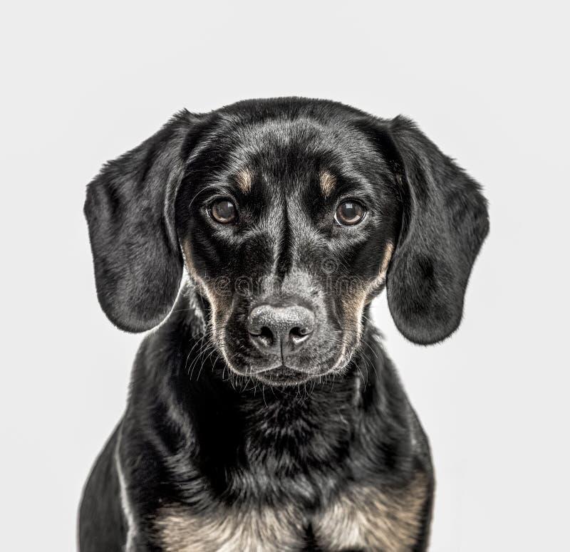 杂种小狗特写镜头,隔绝在白色 库存照片
