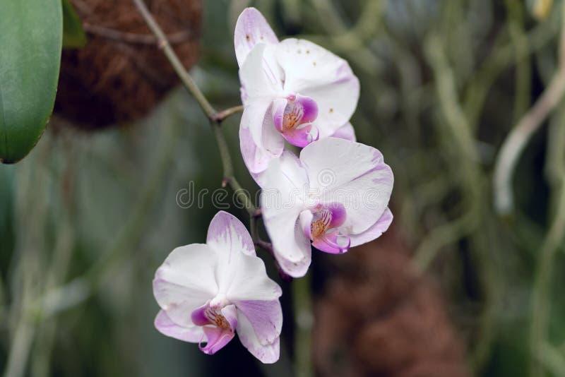 杂种桃红色和白色兰花植物,杂种兰花关闭在软的焦点 免版税库存图片