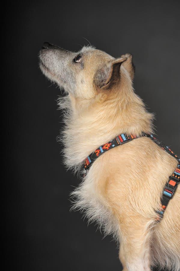 杂种狗在演播室 免版税库存图片
