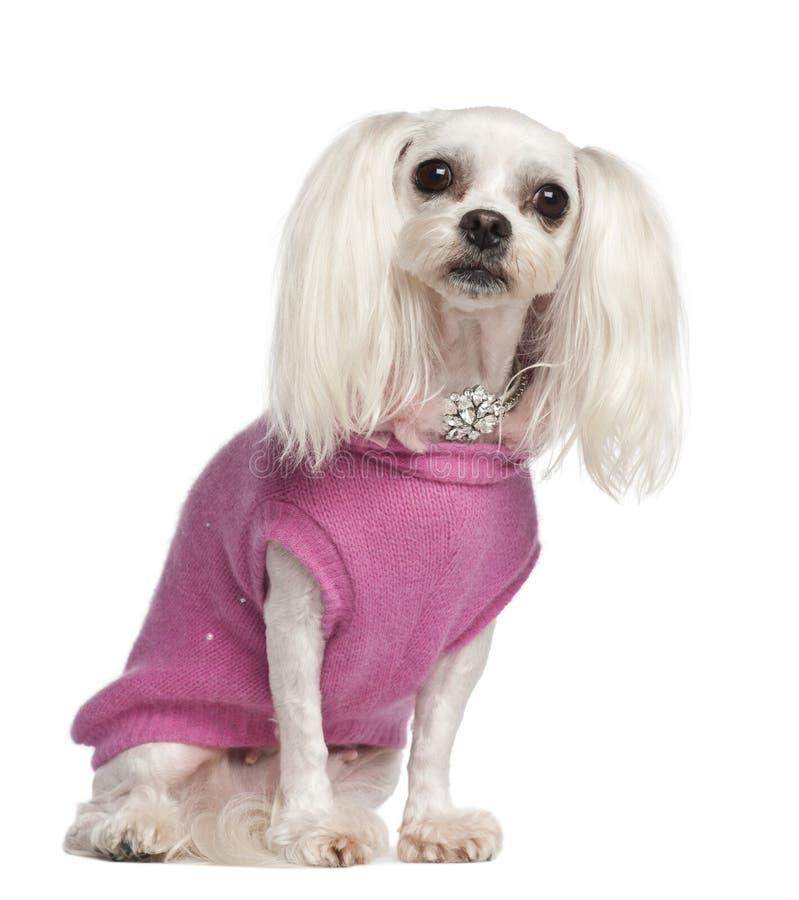 杂种狗, 6岁,坐 免版税库存照片