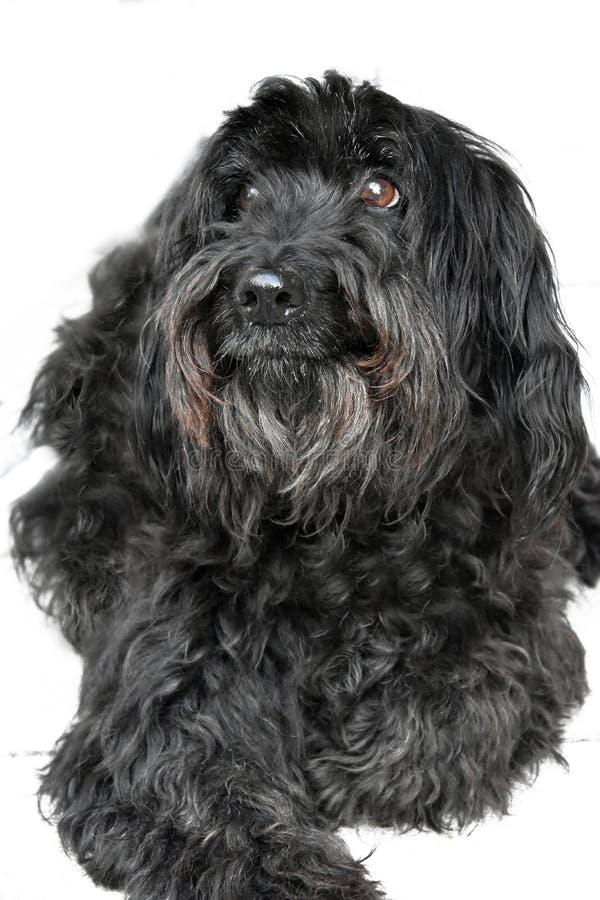 黑杂种狗 图库摄影