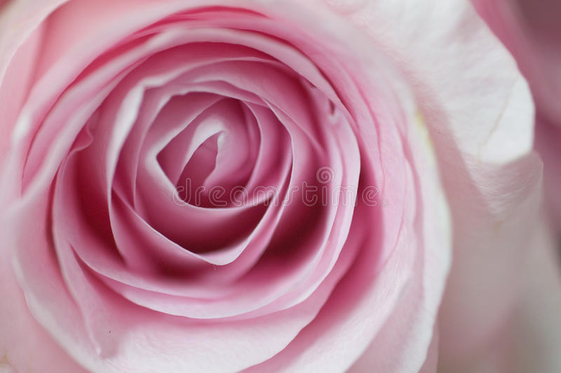 杂种粉红色玫瑰色茶 免版税图库摄影