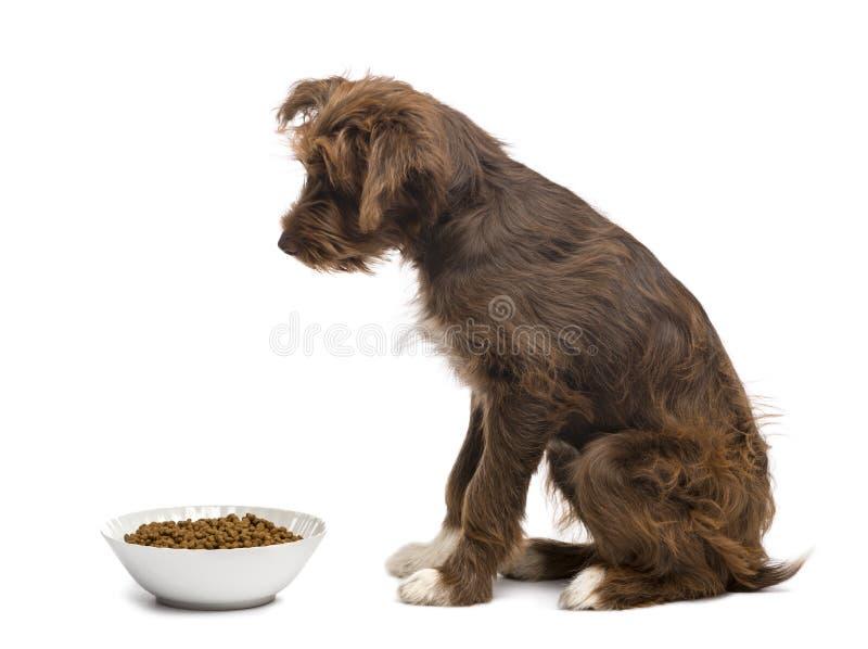 杂种, 5个月侧视图,充分坐在碗狗食旁边 免版税库存照片