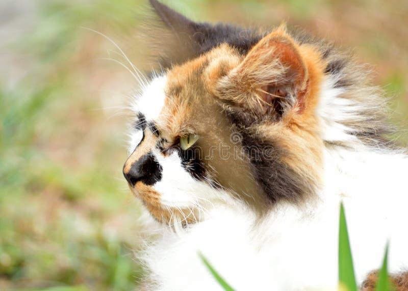 杂色猫外形  免版税库存照片