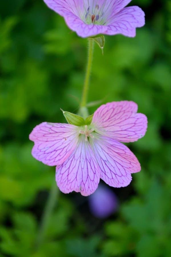 杂色的大竺葵-被书写的Cranesbill 库存图片