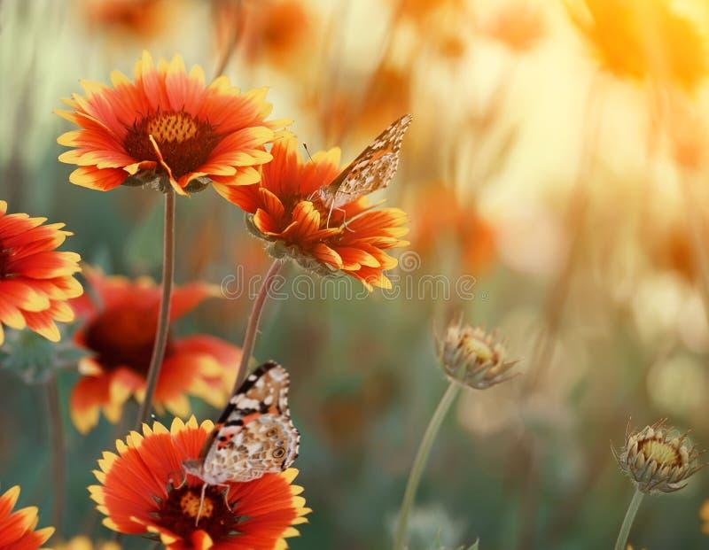 杂色的明亮的蝴蝶绘了明亮的五颜六色的雏菊的夫人在夏天草甸 夏天心情  艺术性的嫩照片 免版税库存照片