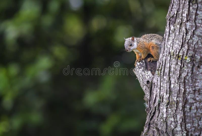 杂色的灰鼠-中型松鼠variegatoides 库存图片
