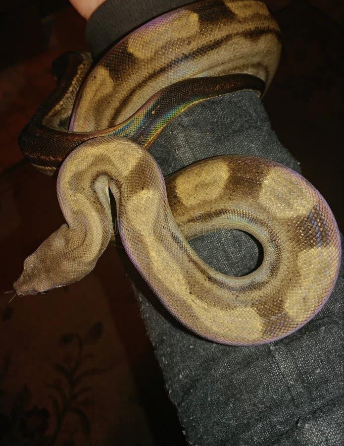 杂色的蟒蛇 库存照片