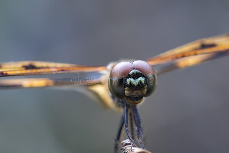 杂色的Flutterer蜻蜓的图象 库存图片