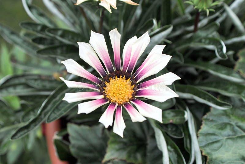 杂色菊属植物。