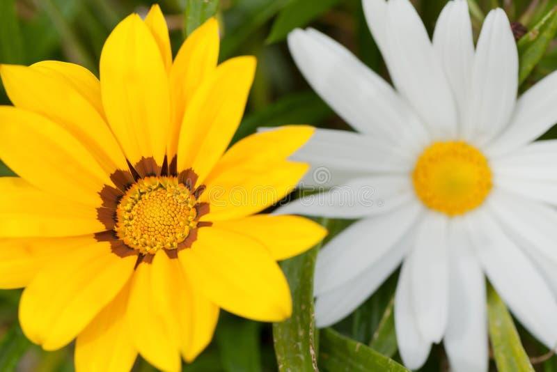 杂色菊属植物hybrida花  免版税库存照片