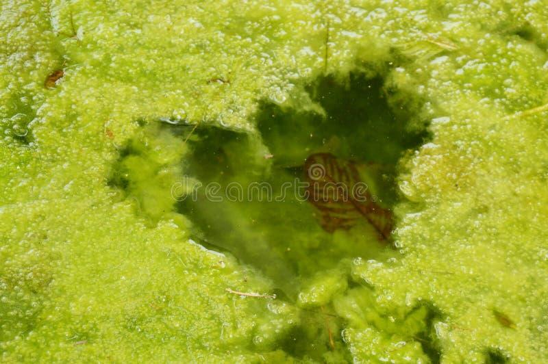 水杂草浮动看起来在池塘的心脏形状 免版税库存图片