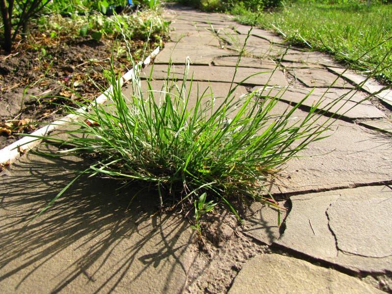 杂草生长在从石板到花园的小路上 库存图片