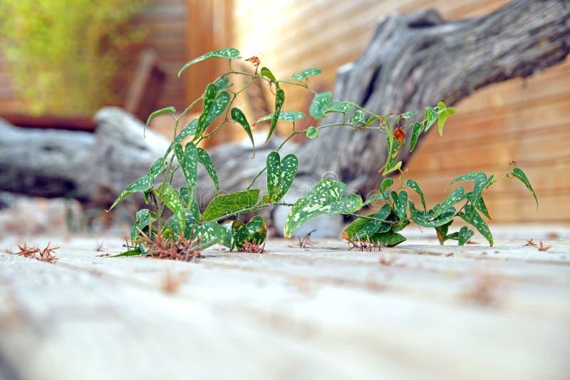 杂草苣苦菜-生长在边路裂缝的苣苦菜  免版税图库摄影