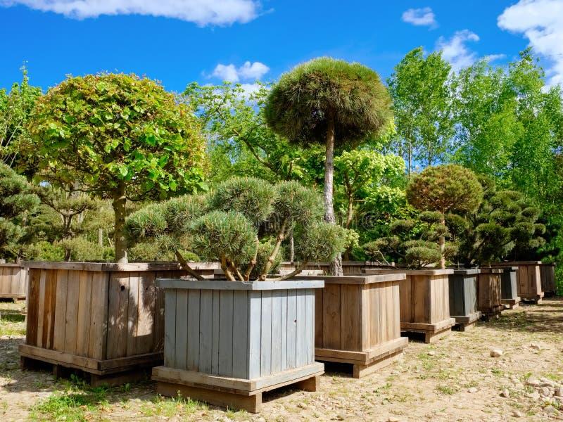 杉木、冷杉、庭院树和盆景在箱子 免版税库存图片