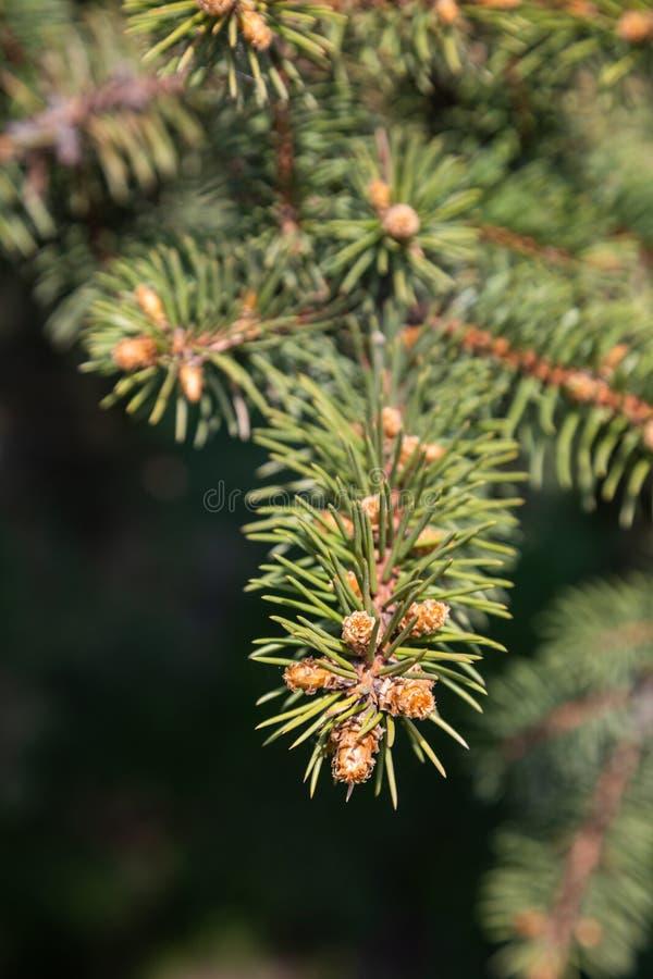 杉木分支与圆鼓的年轻芽的在俄罗斯 库存照片