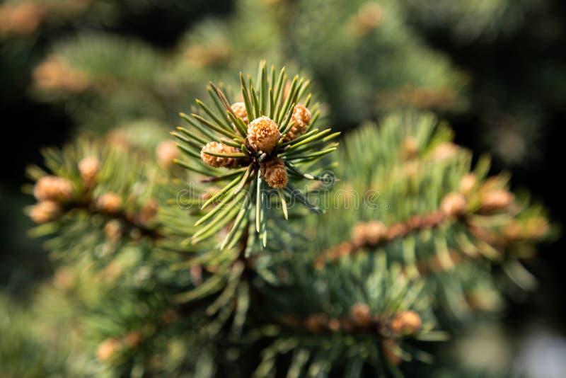 杉木分支与圆鼓的年轻芽的在俄罗斯 免版税库存照片