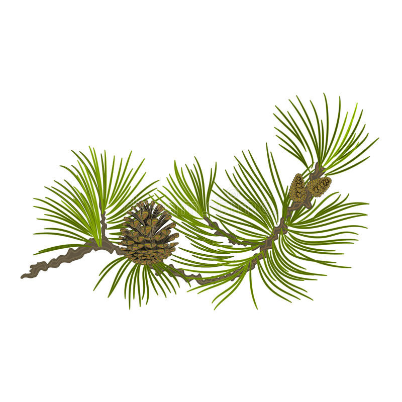 杉木分支丝毫pinecones传染媒介例证 免版税库存照片