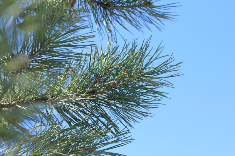 杉木分支反对蓝天的 库存照片