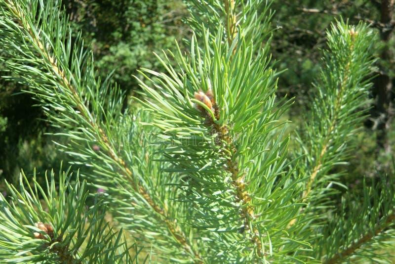 杉木分支在春天 库存照片