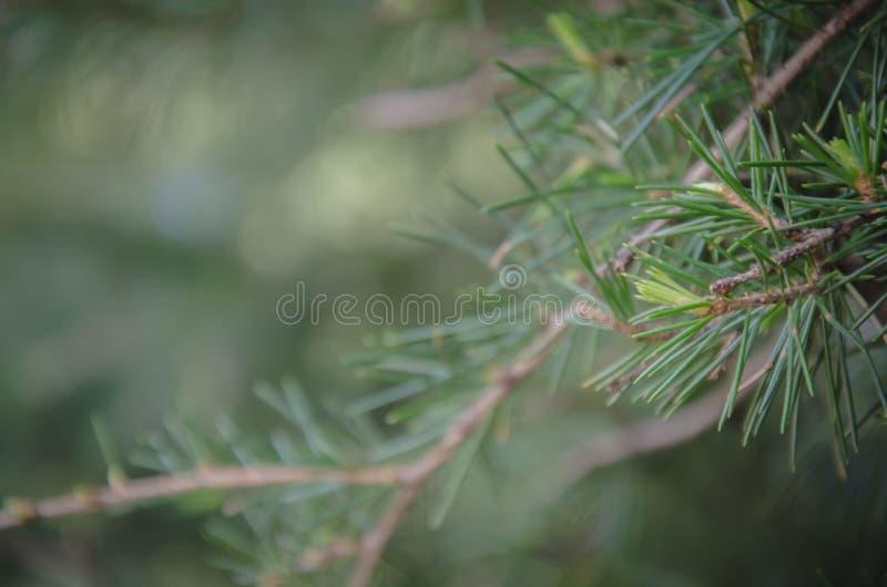 杉木分支在软的焦点 库存照片