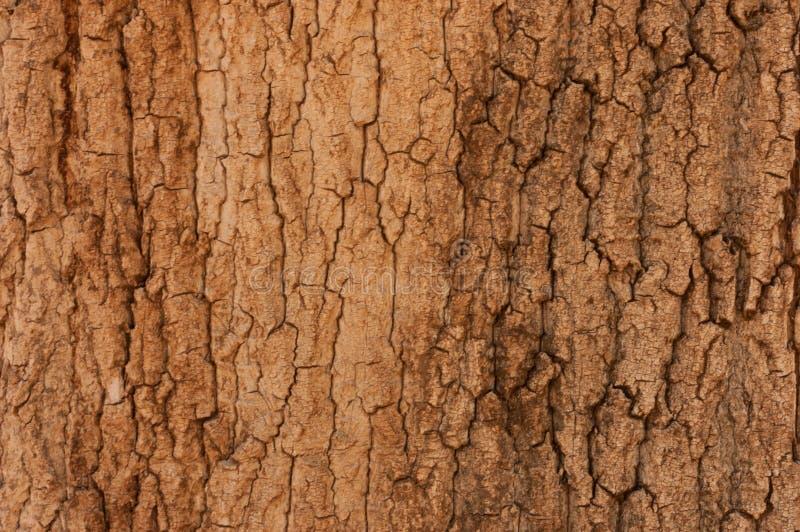 杉木吠声纹理背景 树关闭 干燥和概略的纹理自然背景 免版税库存图片