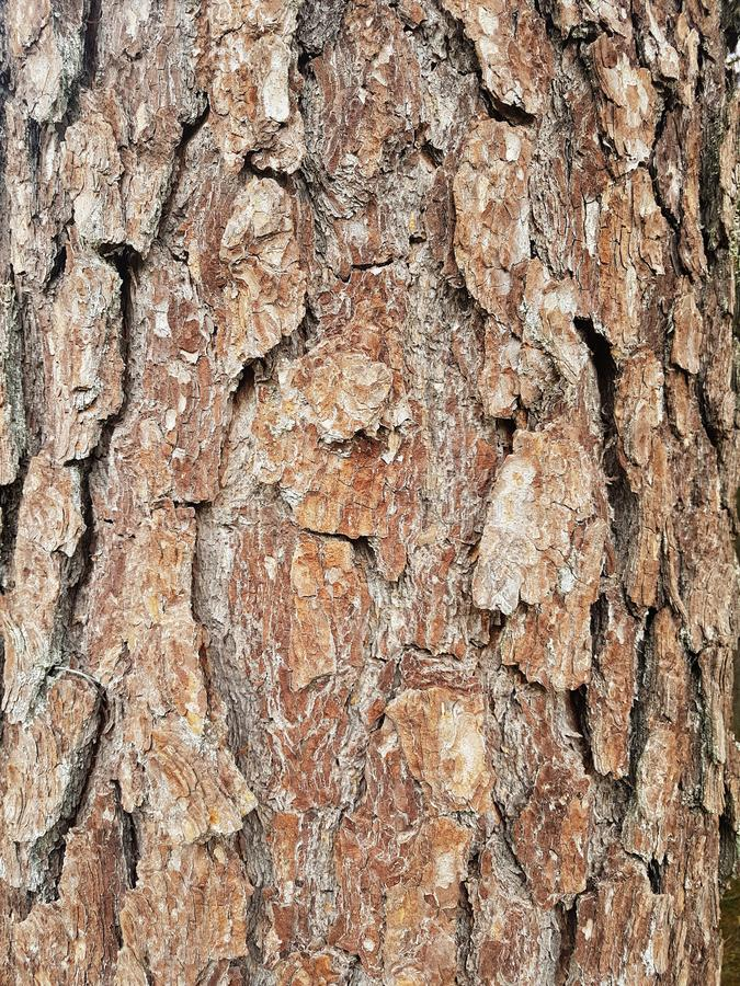 杉木吠声纹理背景 树关闭 r 库存照片