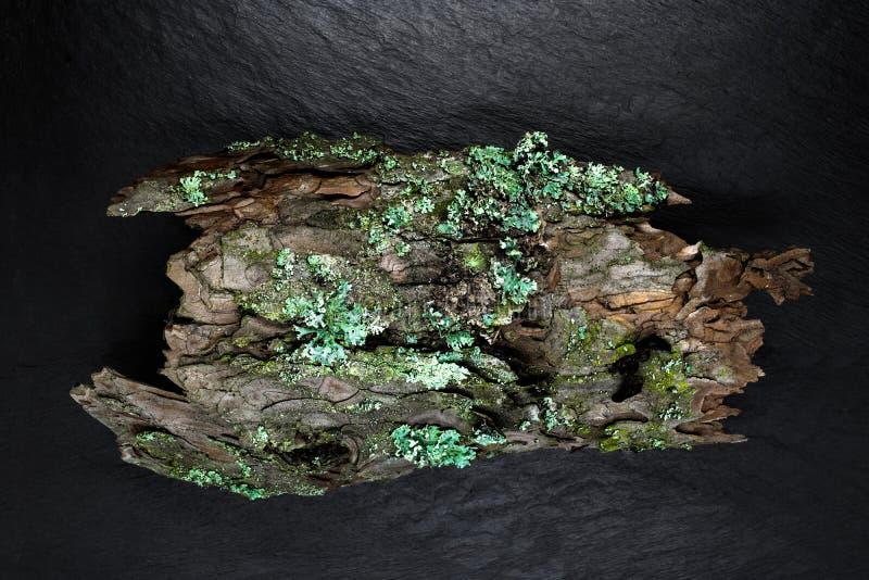 杉木吠声锋利和接近的看法黑石背景表面上的 用地衣和青苔盖的吠声 免版税库存照片