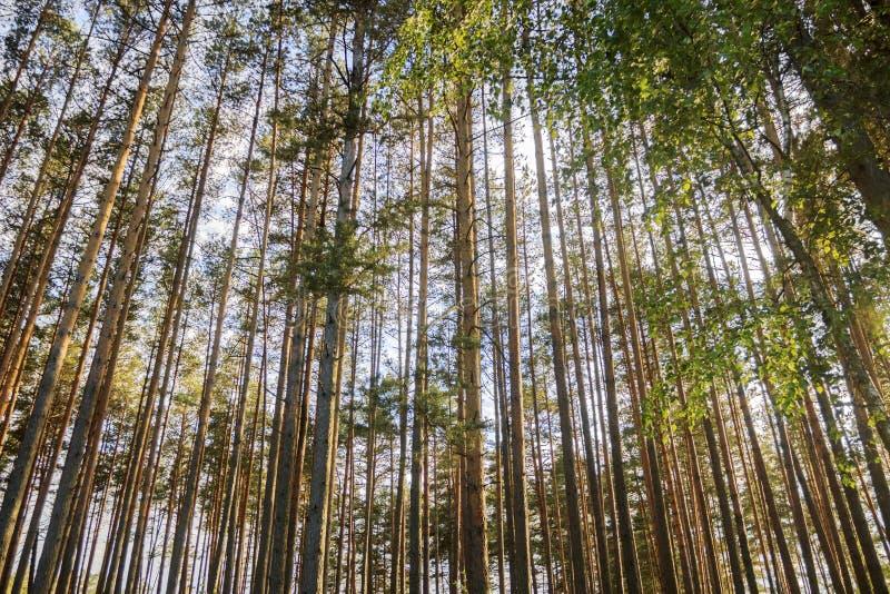杉木和天空 免版税库存照片