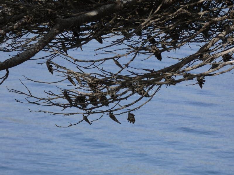 杉木和干菠萝在地中海附近 库存照片