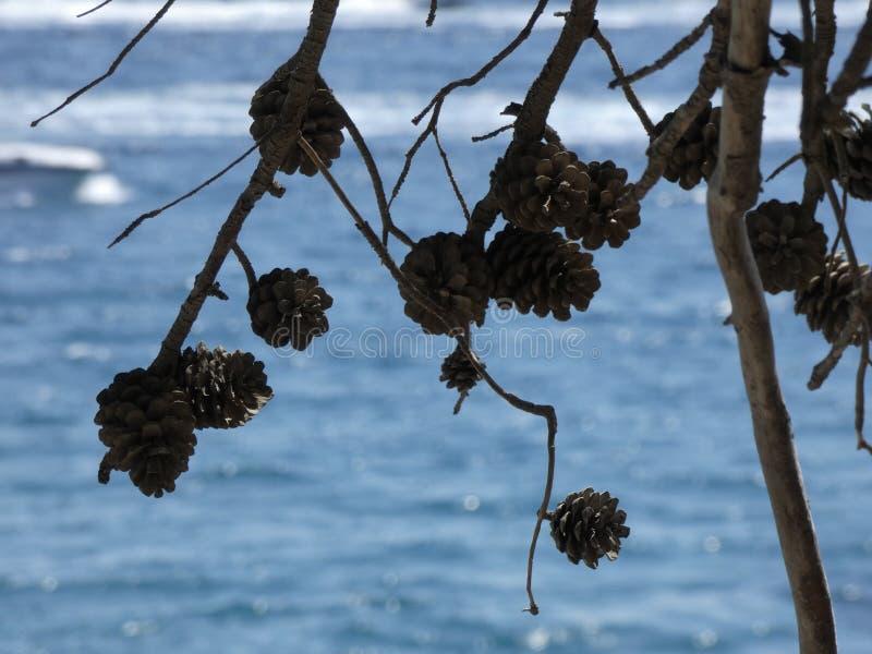 杉木和干菠萝在地中海附近 免版税库存照片