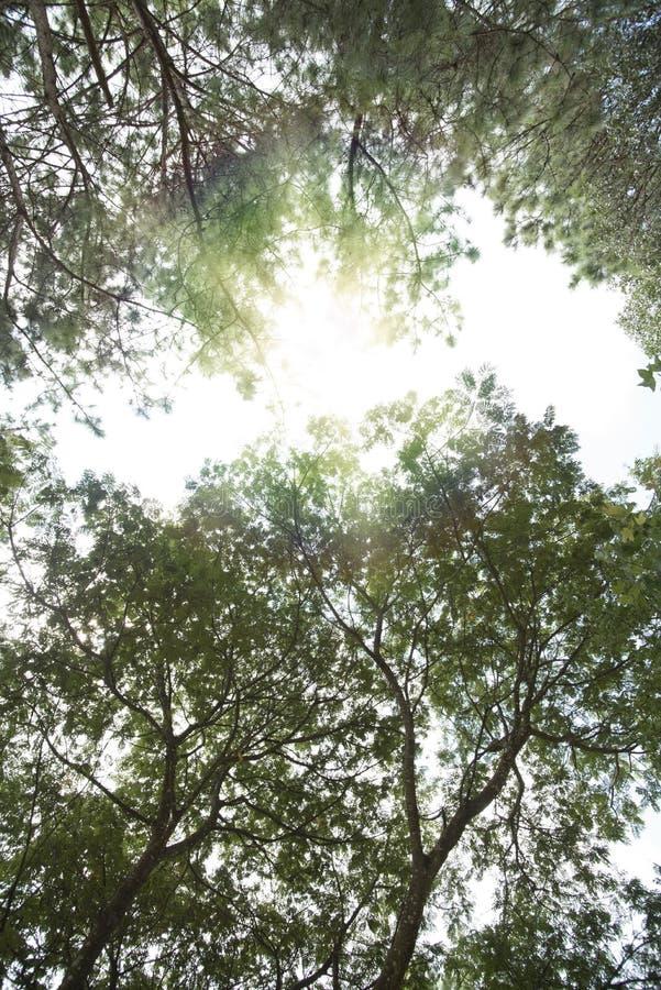杉木和轻的森林 免版税库存图片